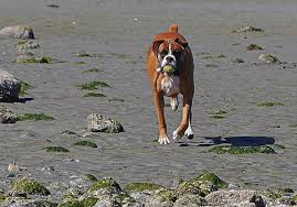 boxer dog origin boxer fantastic pet encyclopedia uk