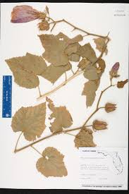 Florida Turnpike Map by Hibiscus Furcellatus Species Page Isb Atlas Of Florida Plants
