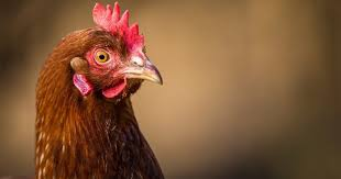 Rooster Jokes Meme - 13 of the worst best chicken puns you ve ever heard