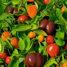 sweet pepper u0027mini bell mixed u0027 pepper sweet u0026 chilli seeds