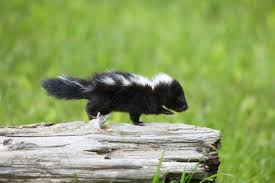 the basics of caring for pet skunks
