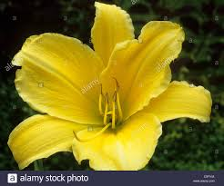 hemerocallis u0027big bird u0027 daylily daylillies day lily lillies yellow
