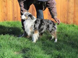 australian shepherd quebec miniature australian shepherd puppies outside comox valley comox