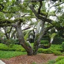 live oak tree for sale buy oak trees at low prices pre orders