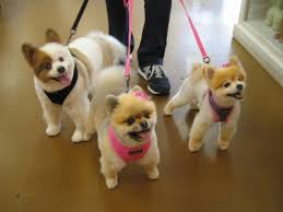 summer haircut pomeranian pomeranian haircuts styles hairs picture gallery