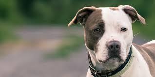 american pitbull terrier dalmatian mix american pit bull terrier information characteristics facts names