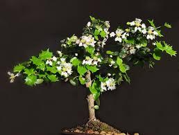 aliexpress buy merry bright japanese bonsai seeds