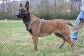 belgian sheepdog massachusetts camelot german shepherds camelot german shepherds german