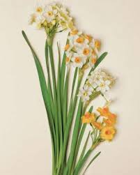 paperwhite flowers flowering paperwhites for winter windowsills finegardening