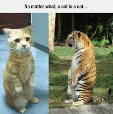 No Meme Cat - no matter what a cat is a cat funny animal humor lol meme