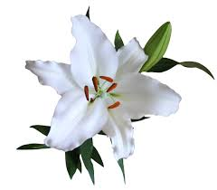 white lilies lilys enterprises lilies