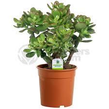 crassula ovata 1 plant house office live indoor pot money