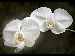 moth orchid moth orchids how to grow and care for phalaenopsis