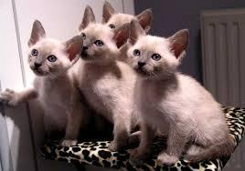 Sho Kucing Anti Jamur kucing thai point thai blue point thai lilac point cat www