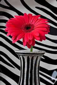 Striped Vase Gerbera Daisy In Striped Vase Photograph By Garry