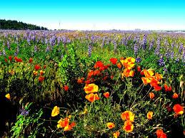 Flowers Irvine California - flower landscape wallpaper wallpapersafari