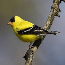 Ontario Backyard Birds Take Our Common Backyard Birds Song Quiz