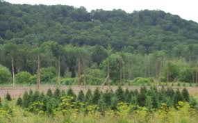 hop poles cedarvale maple syrup company