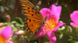 beautiful butterfly and flowers with relaxing music hd youtube