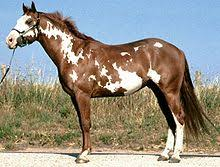 american paint horse wikipedia