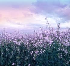 free stock purple flower field crop www musestouch me m u2026 flickr