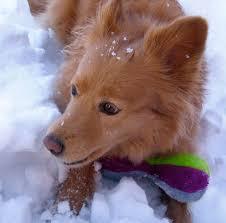 american eskimo dog rescue colorado foxy the american eskimo chow mix dogs daily puppy