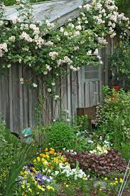 climbing roses add a unique vertical element mississippi state