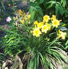 day lilies growing daylilies make yours the of your neighborhood