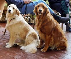 Comfort Pet Certification Therapy Dog Wikipedia
