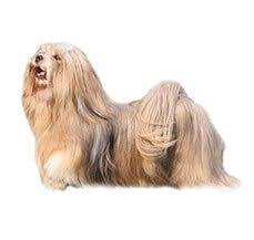 lhasa apso dog breed information dogspot in