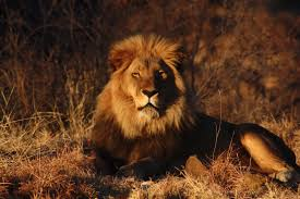 african safari animals beautiful animals safaris amazing lions big cats africa u0027s