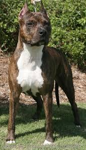 american pitbull terrier akc celtic u0027s alana malise of cimar