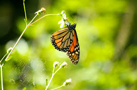 basf and farmers partner to help the monarch butterfly