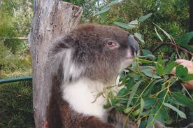 Koala Bear Meme - face to face seriously with a koala travel oops