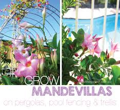 Trellis For Climbers Mandevilla Large Flower Plant Climber About The Garden Magazine