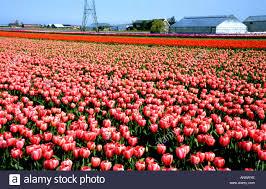 Tulip Field Tulips Tulip Field Fields Flowers Near Keukenhof Leiden Haarlem