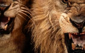 male lion wallpapers photo collection wallpaper lion retina
