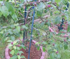 growing greener in the pacific northwest backyard orchard culture