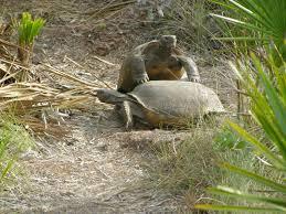 gopher tortoise ask the expert 2009