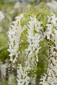 white japanese wisteria monrovia white japanese wisteria