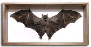 bats for sale mammal bat for sale in a picture box