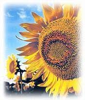 all about sunflower