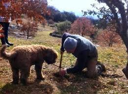 cuisiner la truffe connaître et cuisiner la truffe avignon et provence