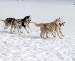 sled dog race siberian huskies stock photo picture and royalty