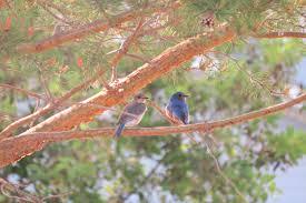 alberta birds u2013 prairie birder