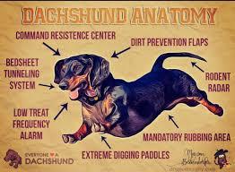 affenpinscher webster s 1494 best my love of weenie dogs images on pinterest dachshunds