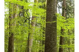 tree of s a beech swi swissinfo ch