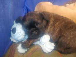 belgian shepherd x staffy mixed breed dogs and puppies for sale in the uk pets4homes