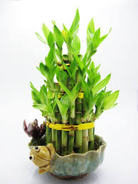 amazon com bamboo live indoor plants grocery u0026 gourmet food