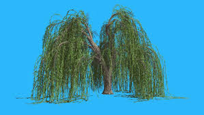weeping willow hanging branches tree is swaying at the wind